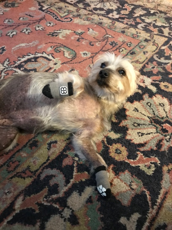 Photo of a cute Yorkie, with socks on, flopped on her belly